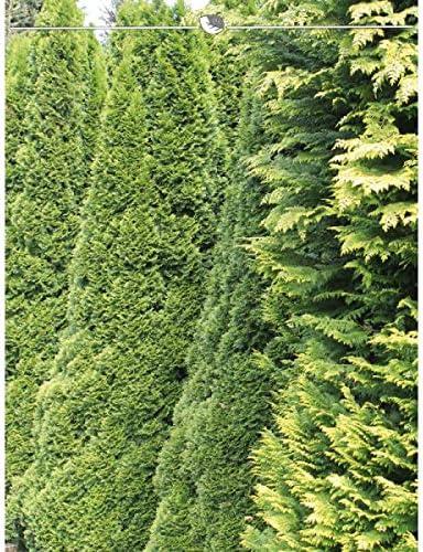 Versand Angebot: 7 Koniferen Thuja occidentalis Smaragd Heckenpflanze Lebensbaum Thuja Smaragd 160-180 cm Inkl Thujahecke als Sichtschutz Immergr/üne Lebensbaum Winterhart und Pflegeleicht