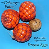 ~DRAGON EGGS~ Raphia farinifer ~GEBANG PALM~ from Madagascar V RARE 5 SEEDS