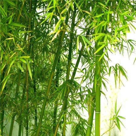 home & garden Free shipping 100 +fresh giant moso bamboo seeds for DIY home garden Household items