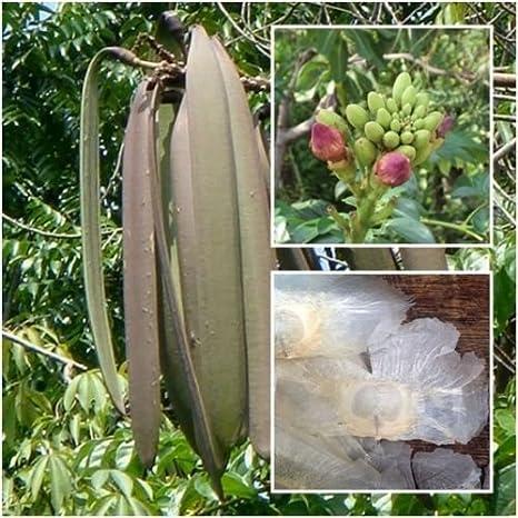 100 seeds Oroxylum indicum Broken Bone tree,Damocles tree,Indian Trump 2019!New