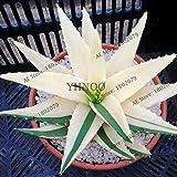 100pcs Succulents Seed Plant,Aloe Vera Seeds,Beauty Edible Cosmetic Bonsai Plants Seeds Perennial Flowers Garden