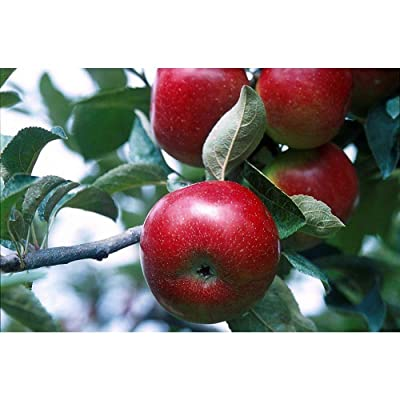 Empire Apple Tree Healthy Established One Gallon Pot 1 Each Growers Solution Plant #GWS03 : Garden & Outdoor