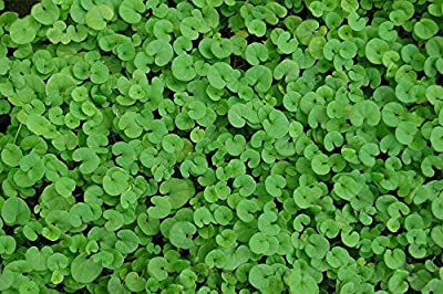 "100+ Perennial Groundcover Seeds - Dichondra ""Kidney Weed"" Forms a Lush Carpet!"