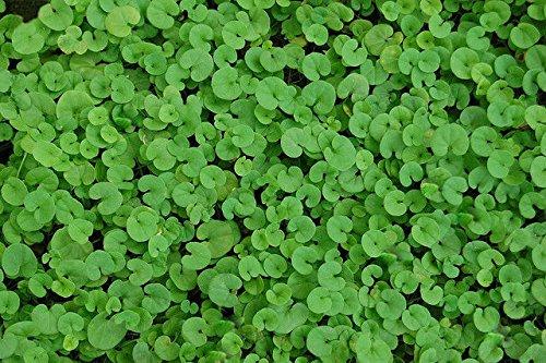 (500+ Bulk Perennial Groundcover Seeds - Dichondra