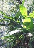 TROPICA - Banano Darjeeling (Musa sikkimensis syn. M. hookeri) - 5 Semi- Resistente al freddo