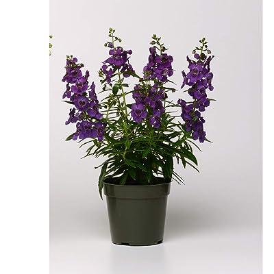 Angelonia Archangel, Premium Annual Plants (4-Pack), Purple Color, 4.33″ Pot: Kitchen & Dining