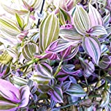 "Wandering Jew Lilac 3.5"" Potted Plant - Tradescantia Fluminensis Lilac - Rare House Plant"