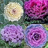 60 ORNAMENTAL KALE SEEDS Spring Brassica Oleracea Flowering Cabbage Non-Gmo USA