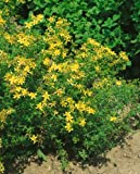 St. John's Wort Seeds - Hypericum Perforatum - .05 Grams - Approx 400 Gardening Seeds - Herb Garden Seed
