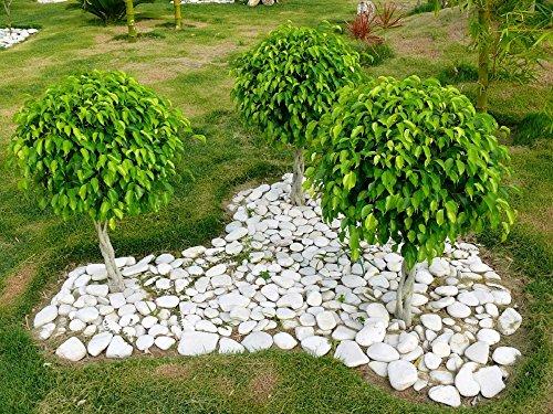 30-ficus-tree-bodhi-tree-sacred-fig-bo-tree-pipal-ficus-religiosa-seeds