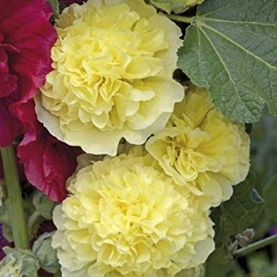 David's Garden Seeds Flower Hollyhock Majorette Double Yellow SL9225 (Yellow) 50 Non-GMO, Open Pollinated Seeds : Garden & Outdoor