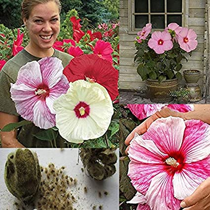 Amazoncom Asien 100 Giant Hibiscus Flower Seeds Hardy Mix Color