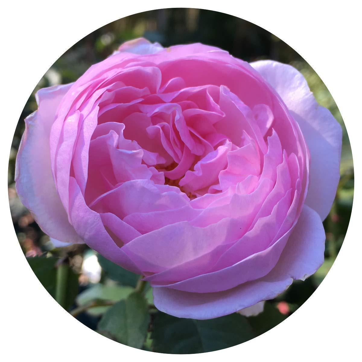 David Austin English Roses Olivia Rose Austin - New for 2016