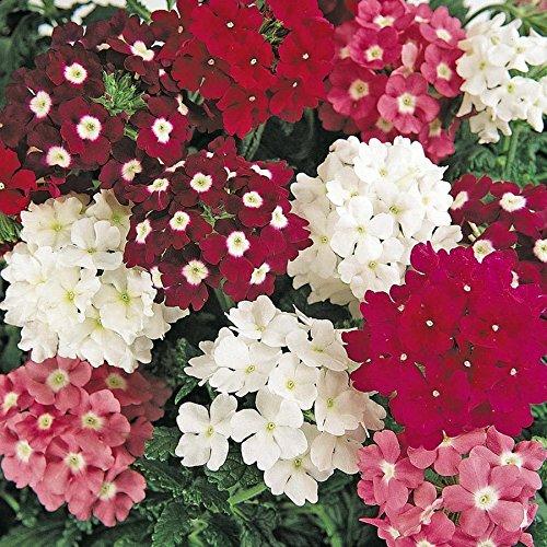 Casavidas Seeds Package: Verbena Renaissance Mix Seeds (F 157)]()