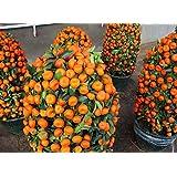 Potted Edible Fruit Seeds Bonsai Climbing Orange Tree Seeds