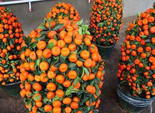 Potted Edible Fruit Seeds Bonsai Climbing Orange Tree Seeds nikstoreinus