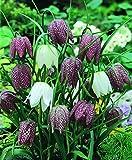 Schachbrettblume Fritillaria meleagris, 20 Zwiebel Größe 5/6