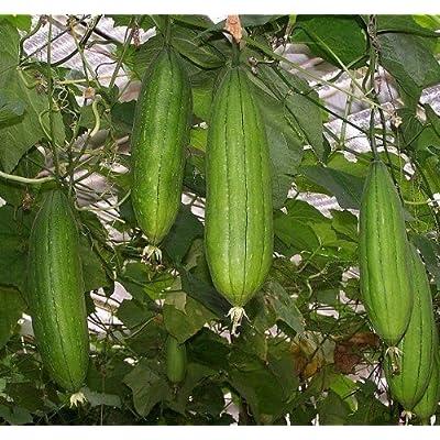 LUFFA SPONGE 10-100 SEEDS Gourd Loofah Dishcloth Very Productive Mướp Heirloom : Garden & Outdoor