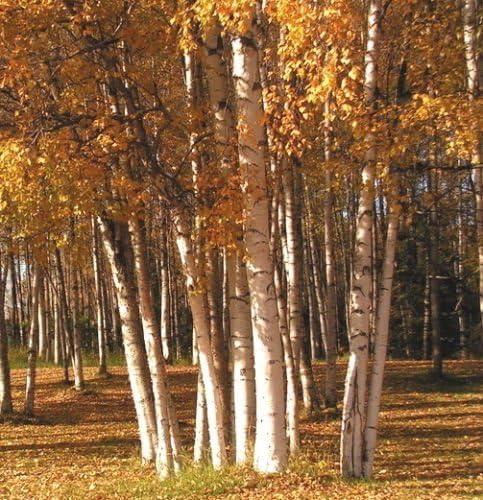 15 graines de semences Bouleau blanc LA TREE AVEC OMBRE BLANC ECORCE