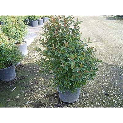 AchmadAnam - Live Plant - Dwarf Brush Cherry- Eugenia myrtifolia Compacta - 1 Feet Tall - Great for Bonsai - Ship in 1 Gal Pot. E9 : Garden & Outdoor