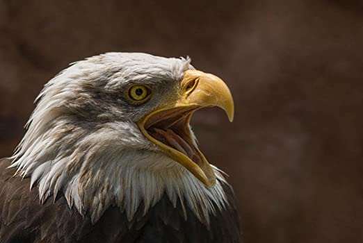 NEW Animal Wildlife POSTER White-tailed Eagle