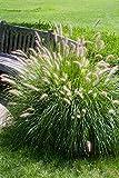 Fountain Grass - 100 Seeds, Pennisetum Alopecuroides'Hameln' Dwarf Fountain Grass, Ornamental Grass