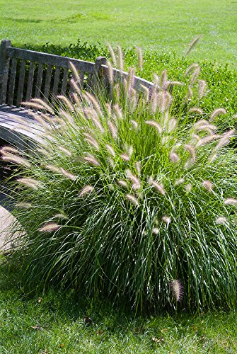 Fountain Grass - 100 Seeds, Pennisetum Alopecuroides 'Hameln' Dwarf Fountain Grass, Ornamental - Grass Seed Ornamental