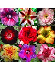 Adenium obesum mixed colours - Desert rose mixed colours - 10 seeds