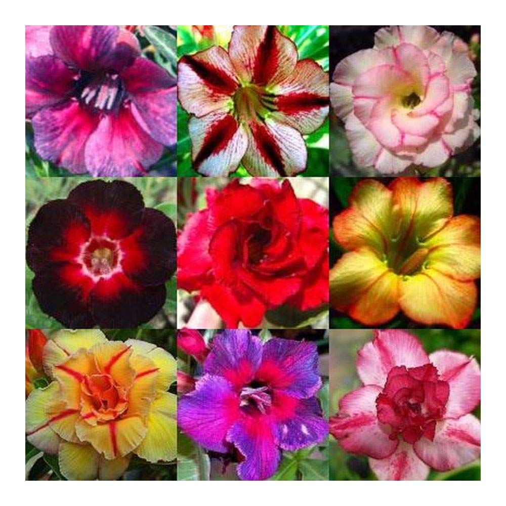 Dwarf Desert Rose Flowers Bonsai Adenium Obesum Plants 22 Colors 2 PCS Seeds New
