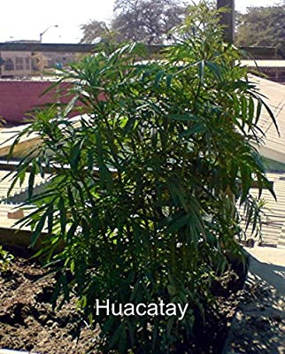 50 Black Mint Seeds for growing AKA Huacatay by Seeds and Things