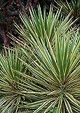 1 Starter Plant of Yucca gloriosa 'Variegata'