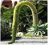 10 x Agave attenuata Plant SEED - SPECTACULAR AND RARE - LION'S TAIL - SWAN'S NECK or FOX TAIL Agave Seeds - By MySeeds.Co