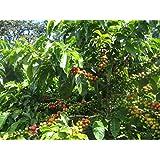 Coffee Bean Plant Seeds ★YEMEN MOKHA SMALL ★ Smallest Coffee Tree ★ 25 Seeds