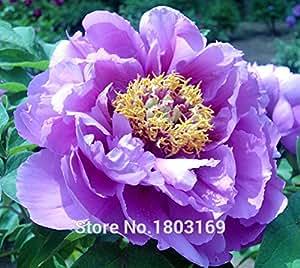 20 semillas / paquete, doble luz azul Peony del árbol Semillas, 'Noble' Rare Peony Árbol de la planta Bonsai Semillas