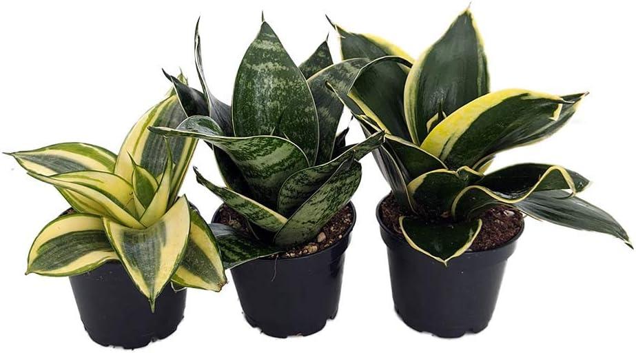 Amazon Com Birdsnest Snake Plant Collection Sanseveria 3