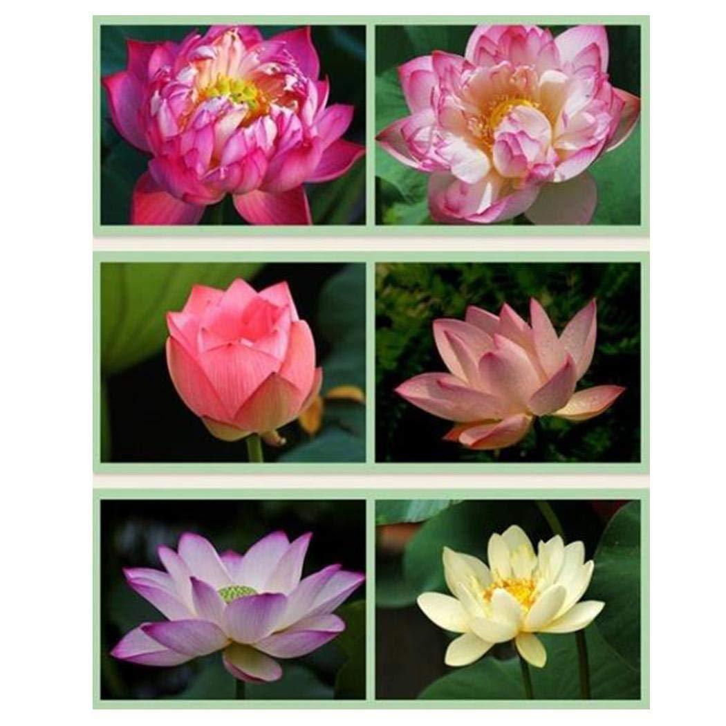 Tinement Sch/üssel Lotus Seed Wasserkulturpflanzen Wasserpflanzen Blumensamen Topf Garten Bonsai Blumensamen