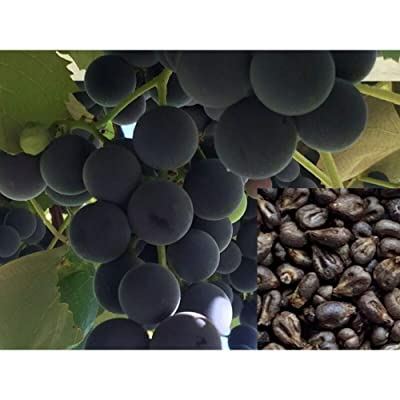 100 Pcs S. California Garden Organic Honey Grape Seeds, Wine Grape Seeds #MCD04 : Garden & Outdoor