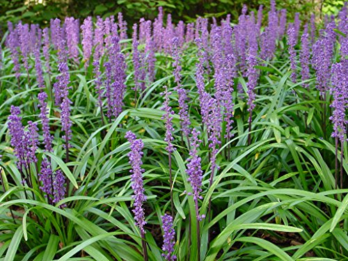 Super Blue Liriope Qty 20 Live Plants Groundcover by Florida Foliage (Image #2)
