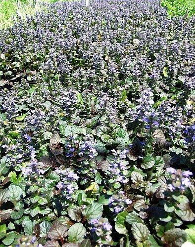 Bronze Beauty Ajuga 24 Plants - Carpet Bugle - Very Hardy - 2 1/4 Pot by Hirts: Perennials; (Perennials For Pots)