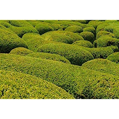 AchmadAnam - Live Plants - Korean Boxwood - Shipped Over 1 Foot Tall : Garden & Outdoor