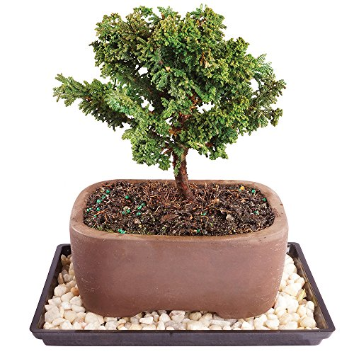 Brussel's Live Dwarf Hinoki Cypress Outdoor Bonsai Tree - 5 Years Old; 6