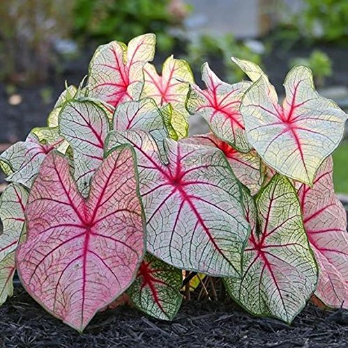 caladium White Queen Mix (Bulbs) Classsic elegance for shady gardens.elephant ear, (5) (Caladium Plant)