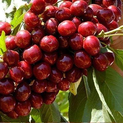 Lulan 8 Lapins Cherry Tree Seeds