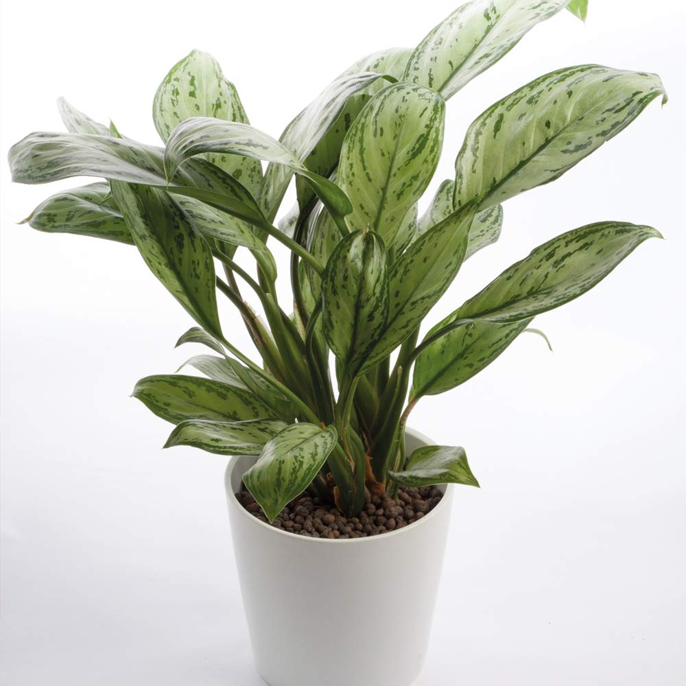 Large Indoor House Plant Chinese Evergreen Easy to Grow with Large Green and White Leaves, 1 x Aglaonema Christina Plant in a 12cm Pot by Thompson and Morgan THOMPSON & MORGAN