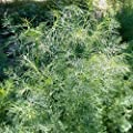 200 Seeds, Dill Herb (Anethum graveolens) Seeds By Seed Needs