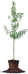 PERFECT PLANTS Bruce Plum Tree 4-5 ft. Tall Self-Pollinating Steady Producer of Delicious Fruit Easy Care, Bright White Flowers