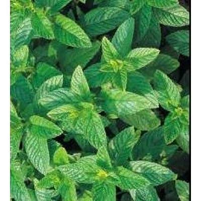 Herb Seeds - Green Mint - 2500 Seeds