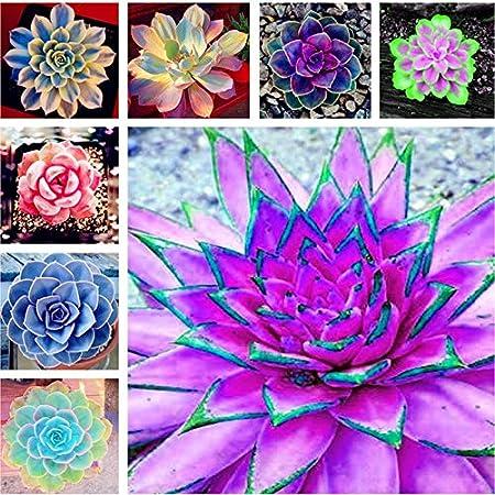 GEOPONICS Semillas: 300pcs raras plantas suculentas de belleza ...