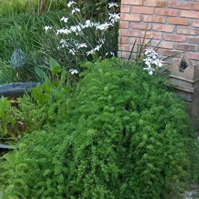 Asparagus Fern Seeds (Asparagus Sprengeri) 60+Seeds : Garden & Outdoor