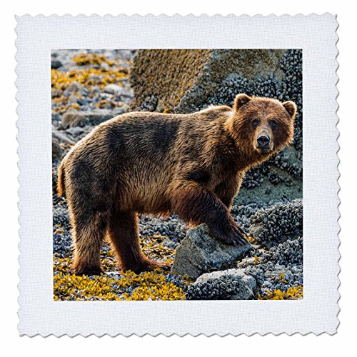 3dRose Glacier Bay National Park. Brown Bear on Beach. - Quilt Square, 14 by 14-Inch - Park Bay Square